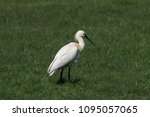 eurasian or common spoonbill in ... | Shutterstock . vector #1095057065