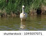 eurasian or common spoonbill in ... | Shutterstock . vector #1095057071