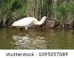 eurasian or common spoonbill in ... | Shutterstock . vector #1095057089