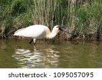 eurasian or common spoonbill in ... | Shutterstock . vector #1095057095