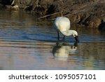 eurasian or common spoonbill in ... | Shutterstock . vector #1095057101