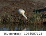eurasian or common spoonbill in ... | Shutterstock . vector #1095057125