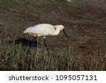 eurasian or common spoonbill in ... | Shutterstock . vector #1095057131