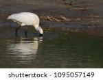 eurasian or common spoonbill in ... | Shutterstock . vector #1095057149
