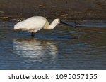 eurasian or common spoonbill in ... | Shutterstock . vector #1095057155