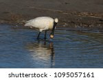 eurasian or common spoonbill in ... | Shutterstock . vector #1095057161