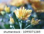 beautiful gerbera l.  transvaal ... | Shutterstock . vector #1095071285