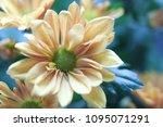beautiful gerbera l.  transvaal ... | Shutterstock . vector #1095071291