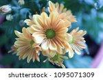 beautiful gerbera l.  transvaal ... | Shutterstock . vector #1095071309