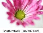 beautiful gerbera l.  transvaal ... | Shutterstock . vector #1095071321