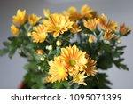 beautiful gerbera l.  transvaal ... | Shutterstock . vector #1095071399