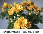 beautiful gerbera l.  transvaal ... | Shutterstock . vector #1095071405