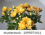 beautiful gerbera l.  transvaal ... | Shutterstock . vector #1095071411