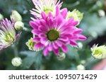 beautiful gerbera l.  transvaal ... | Shutterstock . vector #1095071429