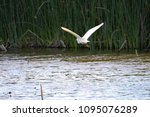 a great white egret fly's low... | Shutterstock . vector #1095076289