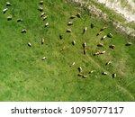 aerial view of cows herd... | Shutterstock . vector #1095077117