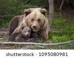 bear with cubs  ursus arctos ... | Shutterstock . vector #1095080981