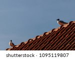 two gulls on an old red tile... | Shutterstock . vector #1095119807