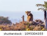 cheetah in kruger national park ...   Shutterstock . vector #1095304355
