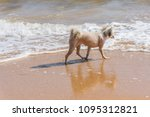 dog so cute beige color mixed... | Shutterstock . vector #1095312821