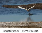 eurasian or common spoonbill in ... | Shutterstock . vector #1095342305