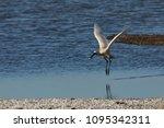 eurasian or common spoonbill in ... | Shutterstock . vector #1095342311