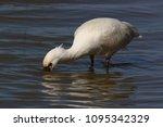 eurasian or common spoonbill in ... | Shutterstock . vector #1095342329