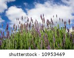 the lavenders close up view... | Shutterstock . vector #10953469