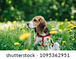 side view of cute beagle puppy... | Shutterstock . vector #1095362951