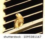 common kestrel  falco...   Shutterstock . vector #1095381167