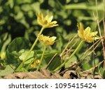 Flowers Of Lesser Celandine ...