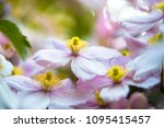 Blossom Of Clematis Plant With...