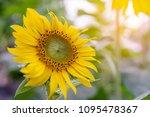 close up of sunflower ... | Shutterstock . vector #1095478367