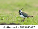 northern lapwing  vanellus... | Shutterstock . vector #1095480677