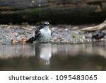 washing eurasian pied flycatcher | Shutterstock . vector #1095483065