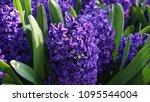purple hyacinth taking in...   Shutterstock . vector #1095544004