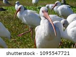Photograph of a white ibis...