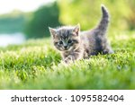 Stock photo cute grey fluffy kitten outdoors in the green grass 1095582404