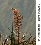 hummingbirds feeding at machu...   Shutterstock . vector #1095600269