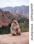 monkey sitting and watching on... | Shutterstock . vector #1095636959