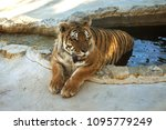 siberian amur tiger in the... | Shutterstock . vector #1095779249