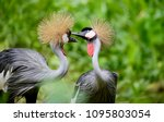 Stock photo birds of uganda the grey crowned crane 1095803054