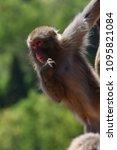 monkey forest  japan   Shutterstock . vector #1095821084