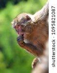 monkey forest  japan   Shutterstock . vector #1095821087