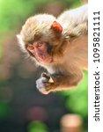 monkey forest  japan   Shutterstock . vector #1095821111