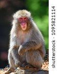 monkey forest  japan   Shutterstock . vector #1095821114