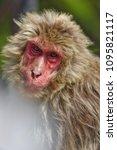 monkey forest  japan   Shutterstock . vector #1095821117