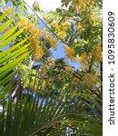 a bright golden royal poinciana   Shutterstock . vector #1095830609
