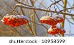 The Mountain Ash Covered With...