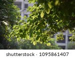 sunshine fresh green leaves ... | Shutterstock . vector #1095861407